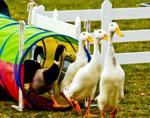 e-duck-herding