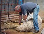 e-sheep-shearing